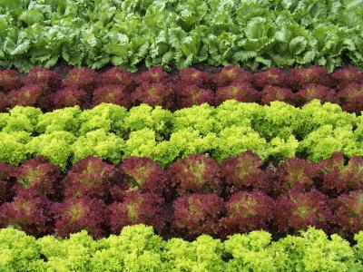 Lettuce-heads