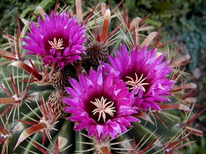 111 Ferocactus latispinus