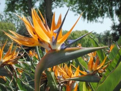 strelitzia-flower
