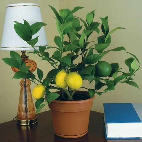 Как сделать лимонарий дома