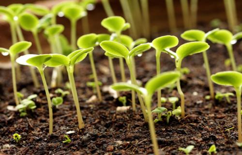Как выбрать рассаду и семена