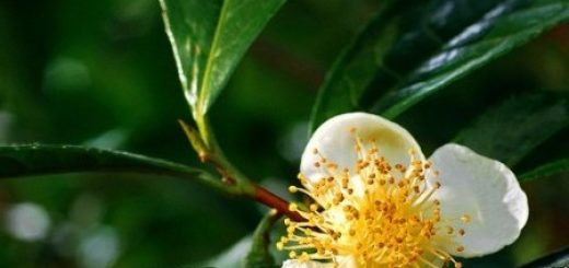Как вырастить чайный куст