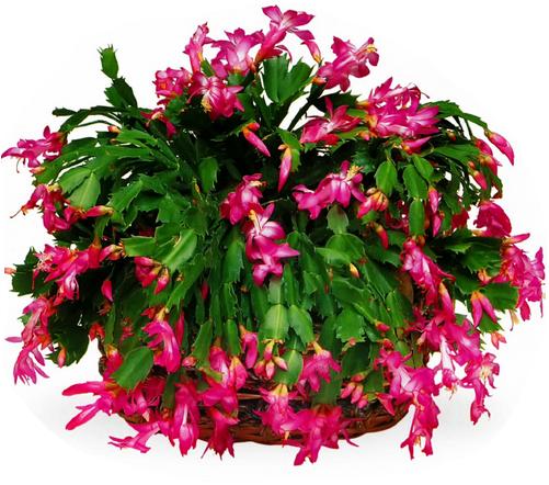 тещин язык цветы фото: