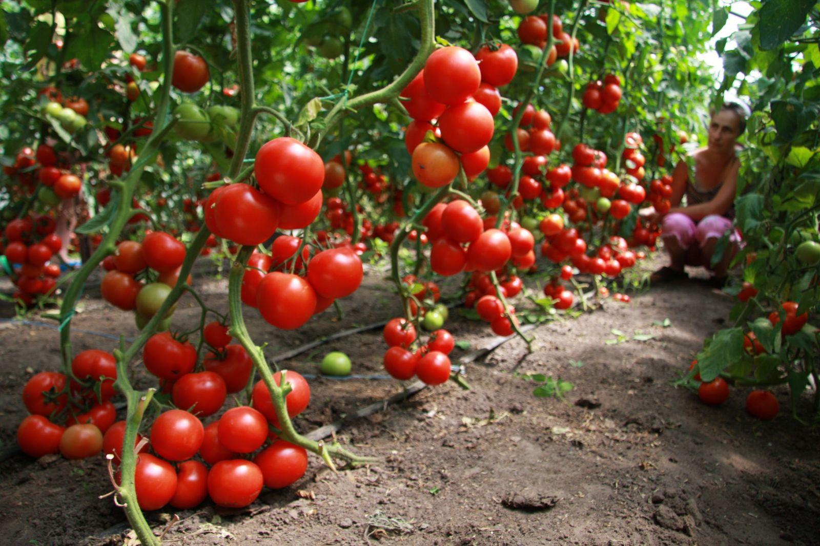 Какие сорта томатов сажать в теплице из поликарбоната 107