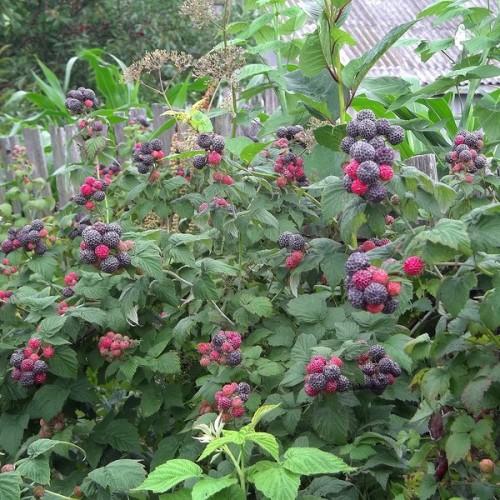 Rubus-Kumberlend-2