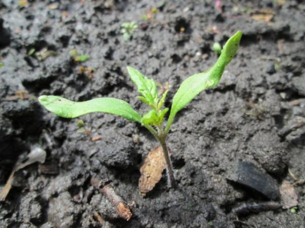 Почему не всходят семена томата?