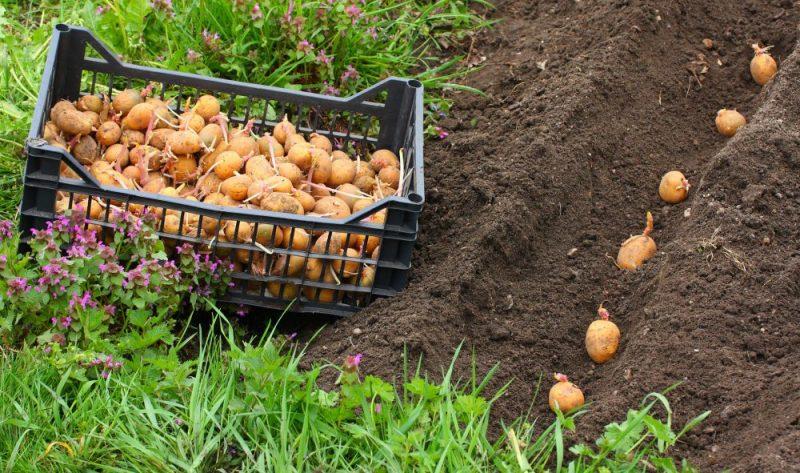 Planting of potatoes on a bio garden. Seasonal work.