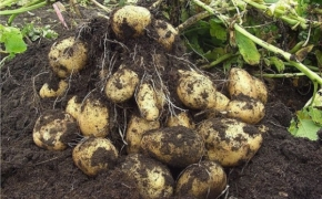 Советы по выращиванию картофеля