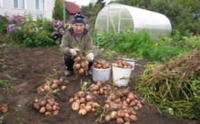 Как собрать большой урожай картофеля