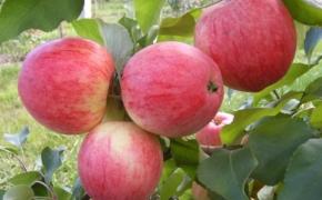 Что нужно делать, чтобы яблоки и груши преждевременно не опадали?