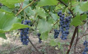 Виноград - первые годы жизни