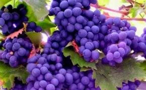 Выращивание винограда на севере