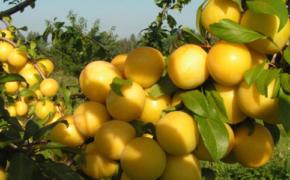Как выбрать и выращивать алычу