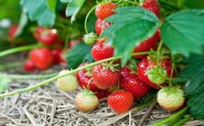 Выращивание ремонтантных сортов ягод