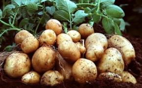 Подкормка картошки