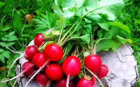 Как выращивать ранний редис