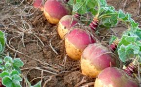 Выращивание репы и брюквы