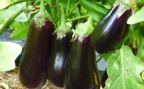 Выращивание баклажана