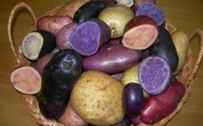 Полезные свойства цветного картофеля