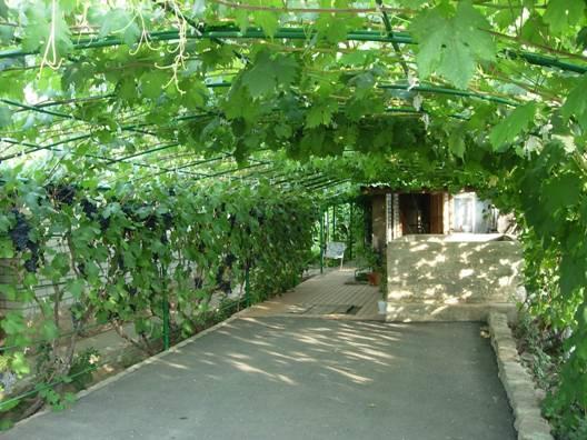 Выращивание винограда на арке