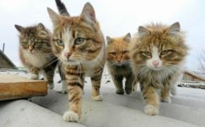 Иерархия у кошек
