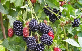 Выращивание ежевики по органической технологии
