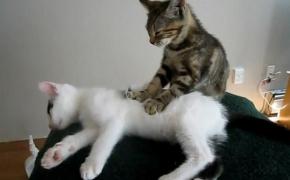 Проявление эмоций: звуки, язык тела кошек