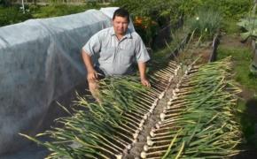 Яровой чеснок: сорта, выращивание и уход
