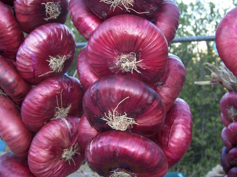 Как выращивать красный лук