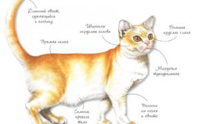 Порода кошек - Азиатская ровного окраса