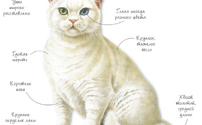Британская белая порода кошек