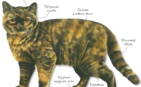 Британская черепаховая порода кошек