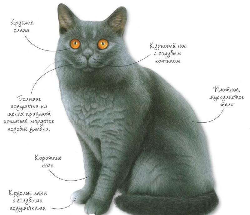 Порода кошек - Британская голубая