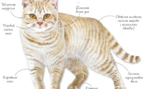 Британская кремовая порода кошек