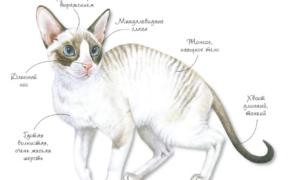 Порода кошек - Корниш-рекс