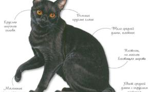 Бомбейская порода кошек