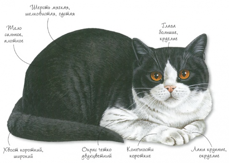 Порода кошек - британская двухцветная (биколор)