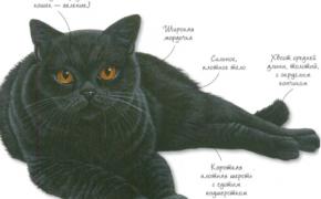 Британская черная порода кошек