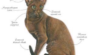 Порода кошек - Гавана