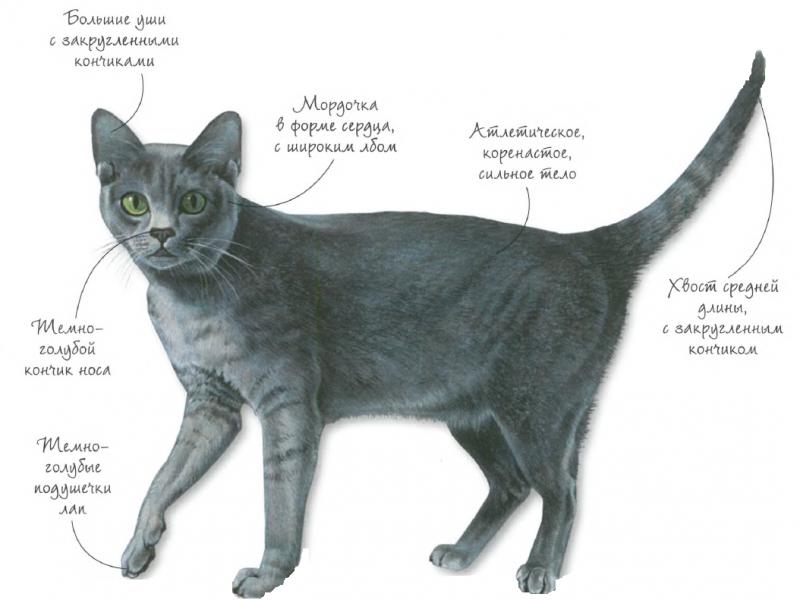 Порода кошек - Корат