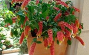 Белопероне капельная: выращивание и уход